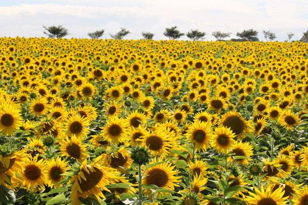 南知多の花ひろばはひまわり畑!見ごろや割引クーポン、駐車場まとめ!