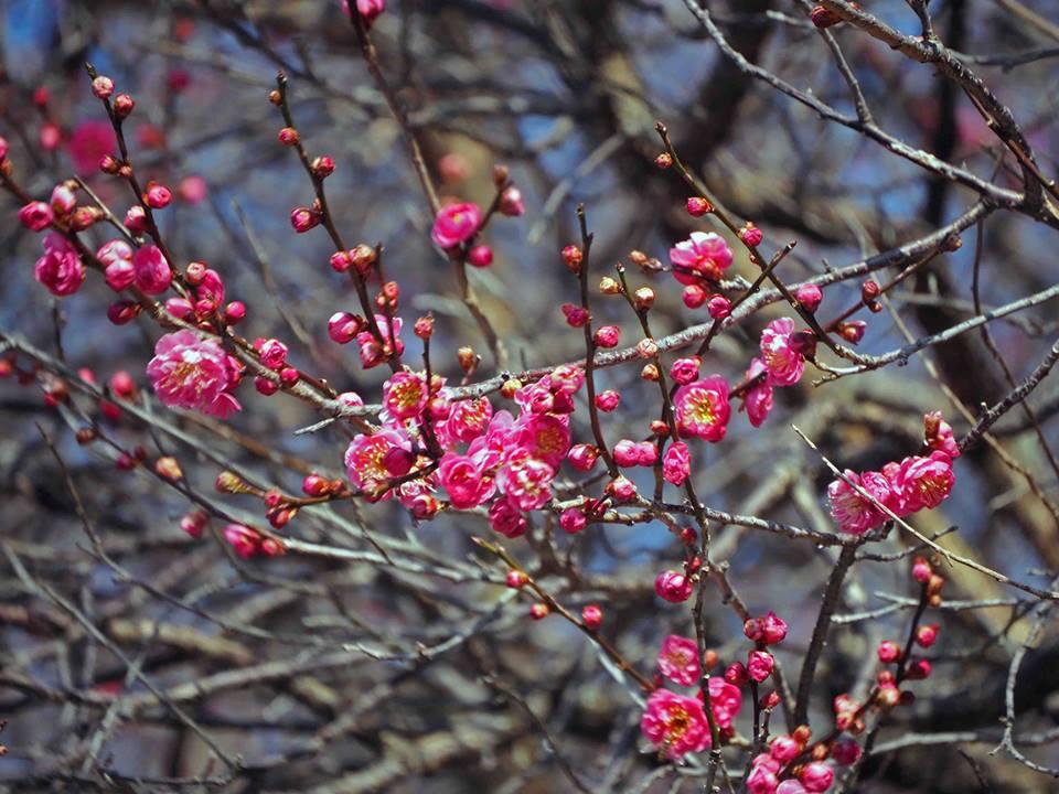 岐阜梅林公園梅まつりの駐車場や見頃時期・開花状況や見どころは?