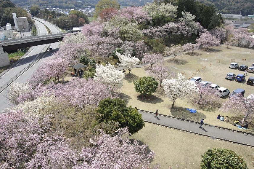 幸田文化公園の幸田しだれ桜まつり2018の見ごろ・駐車場・混雑は?【子連れお花見情報】