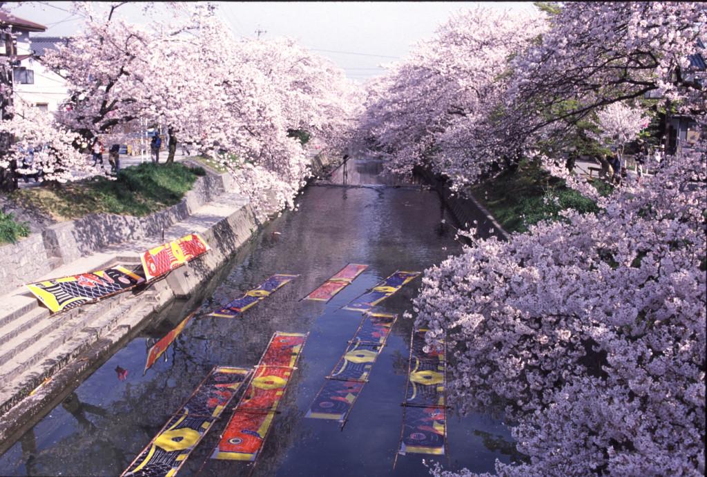 岩倉五条川の桜まつり・のんぼり洗い2018の開花・イベント【子連れお花見情報】