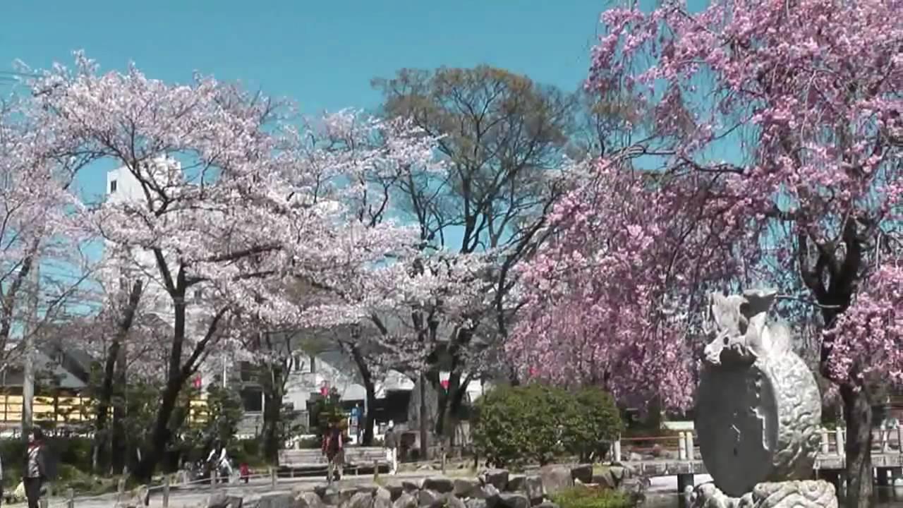 岐阜公園・長良川堤(日中友好庭園)の桜2018開花・見ごろ・混雑は?【子連れお花見】